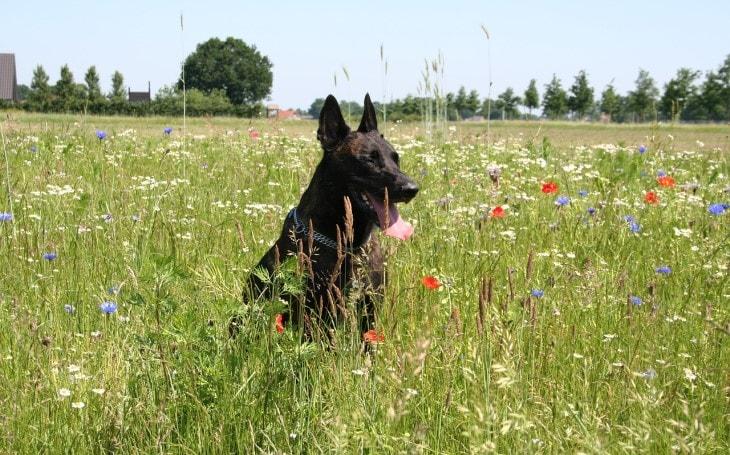 The Dutch Shepherd Is Originated In Netherlands