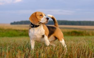 An English Foxhound standing in a field.