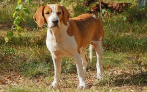 An English Foxhound posing.