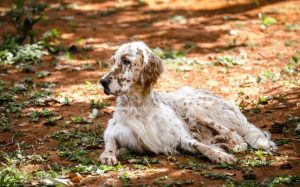 English Setter Is A Sporting Dog