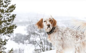 English Setter Temperament And Personality.