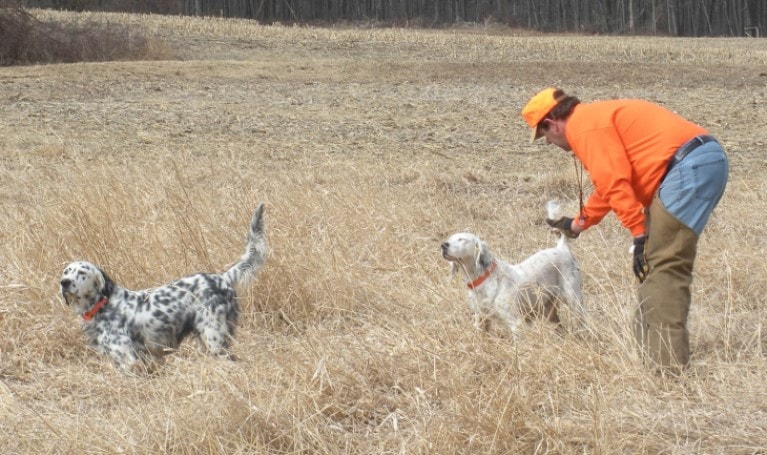 English Setter Need To Be Socialize From Early Age