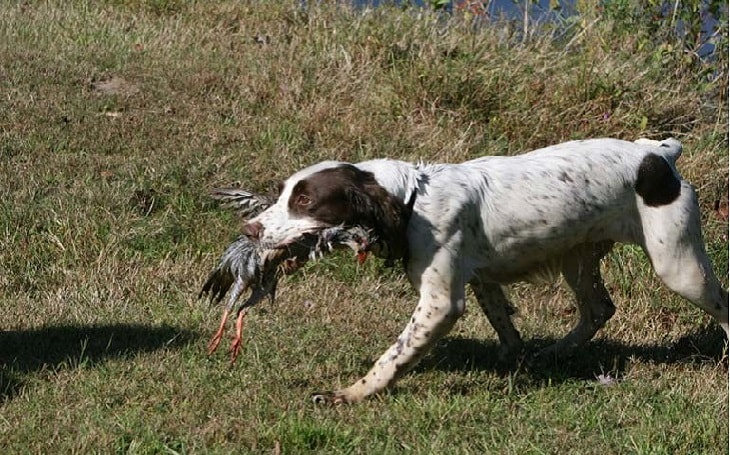 training of English Springer Spaniel dog
