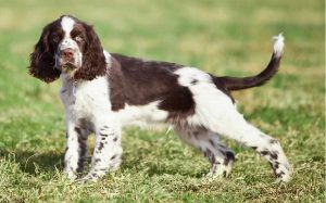 facts of English Springer Spaniel