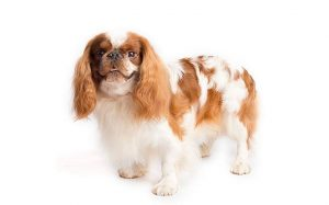 English Toy Spaniel Training