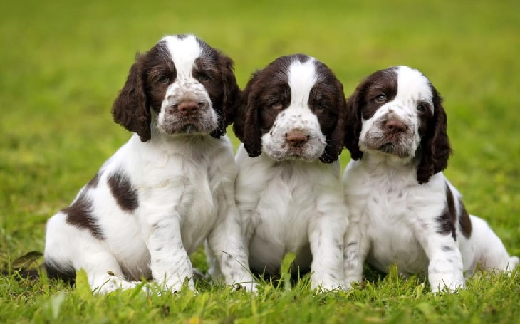 development stages of puppies of English springer Spaniel dogs