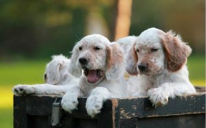 development stages of English Setter puppies