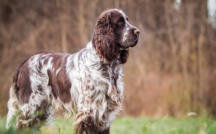 facts of 1 year old English Springer spaniel