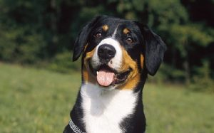 When and Where to train Entlebucher Mountain Dog Training Process