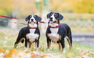 Entlebucher Mountain Dog History and Origin