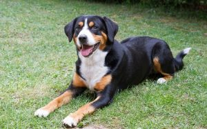 Entlebucher Mountain Temperament and Personality