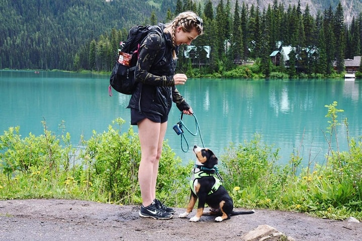 Entlebucher Mountain Dog Training Process