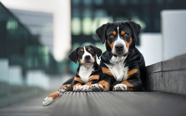 An Entlebucher Mountain puppy with his mother.