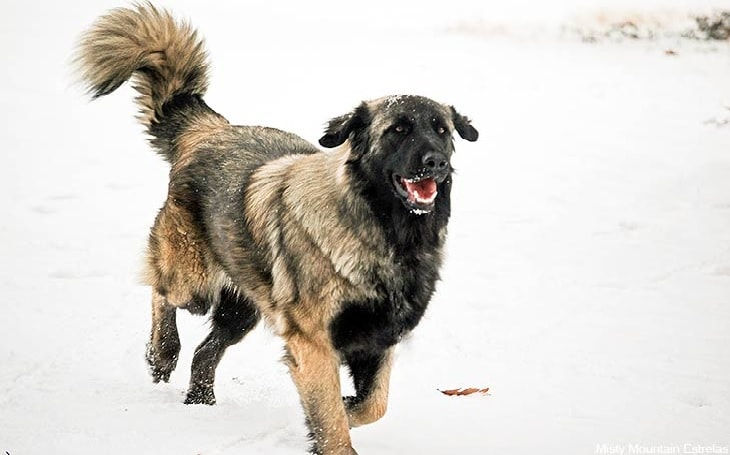 Estrela Mountain Dog Breed.
