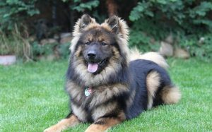 A black and tan Eurasier dog.