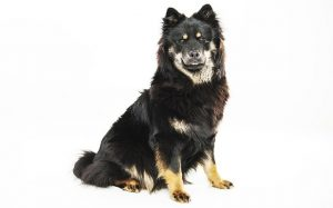 An black and tan Eurasier dog.