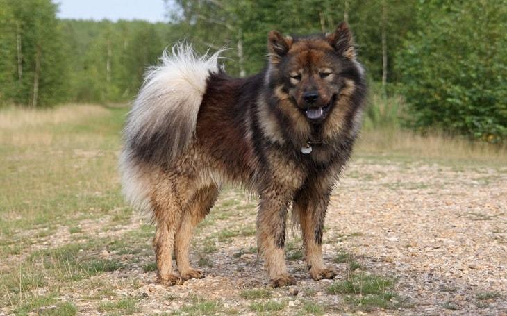 A black and tan Eurasian dog.