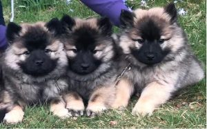 developmental stages of Eurasier puppies