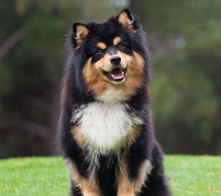 Finnish Lapphund similar dog to lapponian Herder