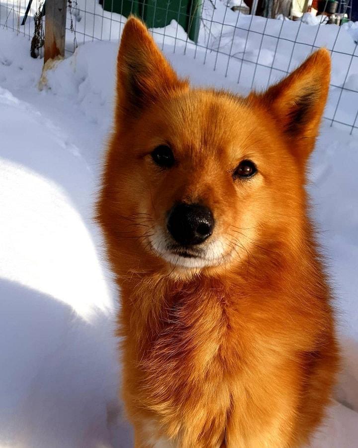 Finnish Spitz similar dog to Lapponian Herder