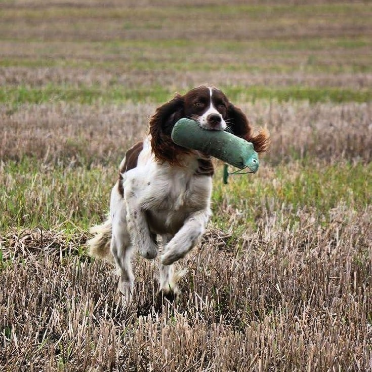 French Spaniel playing fetch games.