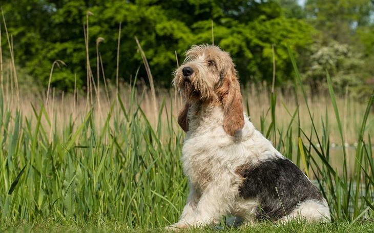 A GBGV dog posing.