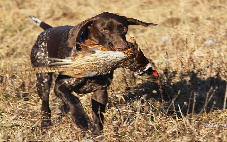 facts of German Shorthaired Pointers