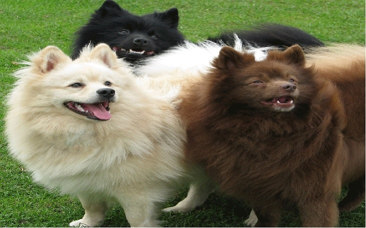 facts of German Spitz dogs
