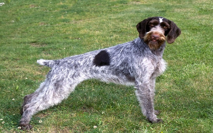 facts of German Wirehaired Pointer