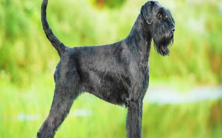 Giant Schnauzer History, Behavior and Cost