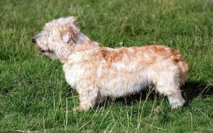 Glen of Imaal Terrier History and Behavior
