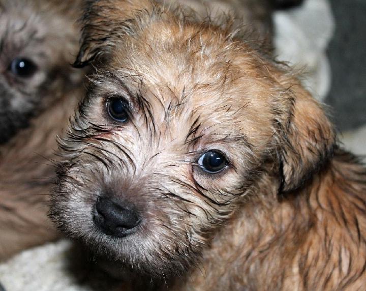 Glen of Imaal Terrier puppy Cost