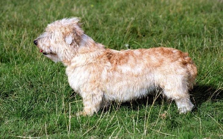 Glen of Imaal Terrier History and Behavior