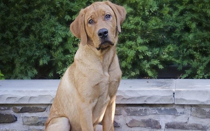 A Goldador dog.