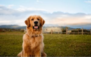 A Golden Retriever dog posing.