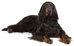 Gordon Setter History, Behavior