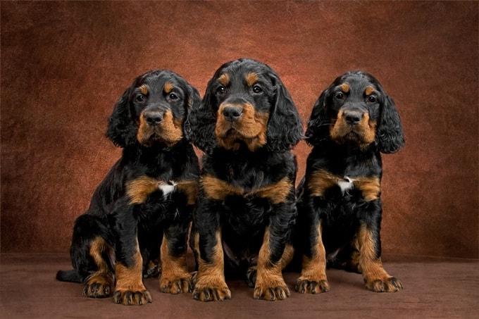 Gordon Setter Puppy Cost