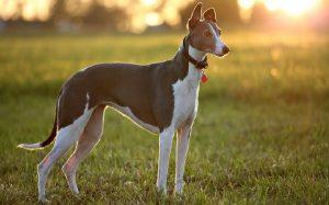A greyhound standing.