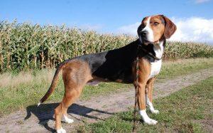 A Hamilton Hound dog.