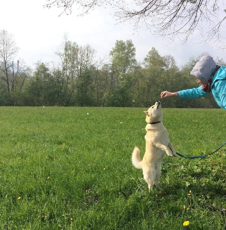 Training Hokkaido dog.