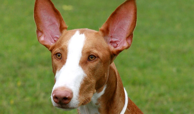 Ibizan Hound which is similar to Portuguese Podengo