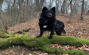 A Belgian Sheepdog in the woods.