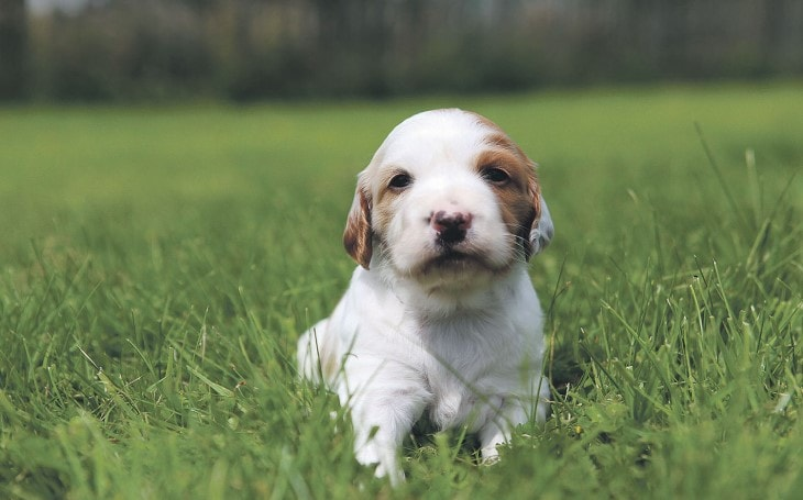 Irish Red And White Setter Puppy Are Friendly And Socialized From Early AGe