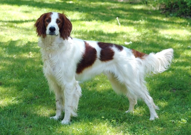 Irish Red And White Setter Are  Suitable For Active Owners