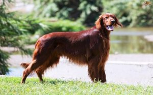 Irish Setter Also Known As Redhead Dog