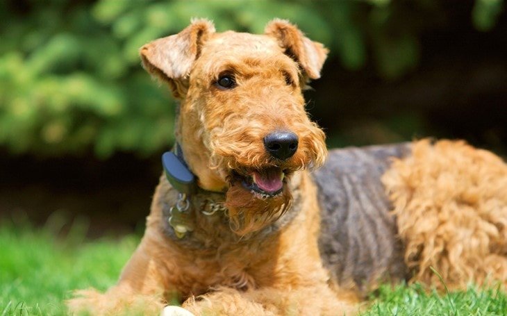 Irish Terrier Are Child Friendly