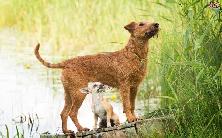 The Irish Terrier Is Nick Named As  DearDevil