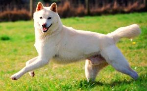 Jindo History and Behavior
