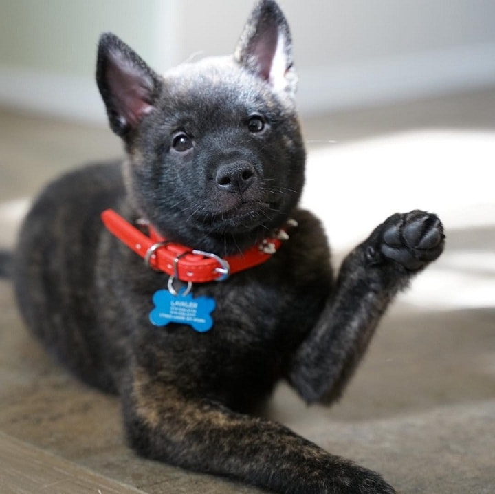 Kai Ken Puppy Cost