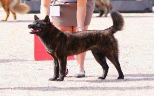 training of Kai Ken dog